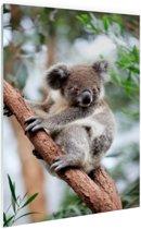 Koala op boom Glas 80x120 cm - Foto print op Glas (Plexiglas wanddecoratie)
