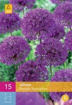 Allium Purple Sensation - sierui - set van 15 stuks