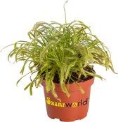 Swampworld Drosera P9 - Vleesetende Plant - Zonnedauw + Gekleurde Pot