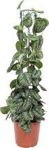 Scindapsus Trebie rek, Fair Flora 120 cm, 24 CM potdiameter