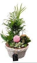 Kamerplant van Botanicly – Arrangement Basic creatie in mand roze – Hoogte: 35 cm