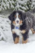 Bernese Mountain Dog Posing in the Snow Journal