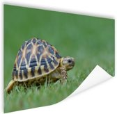 Schildpad op gras Poster 60x40 cm - Foto print op Poster (wanddecoratie)