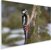 Een grote bonte specht verticaal tegen een boom Plexiglas 60x40 cm - Foto print op Glas (Plexiglas wanddecoratie)