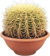 Cactus Echinocactus Grusoni (schoonsmoederstoel), 25 CM hoog, 24 CM potdiameter