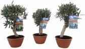 Mediterrane Planten Olijf in schaal op stam,  Hoogte 45 CM, Pot Ø 21 CM