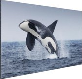 Springende orka Aluminium 120x80 cm - Foto print op Aluminium (metaal wanddecoratie)