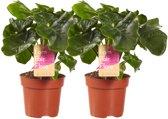 Philodendron Atom ( 2 Stuks )