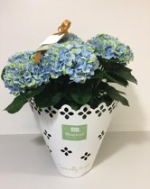 Magical Revolution - hortensia - blauw - 14 cm - cadeau - cadeauverpakking - magical moments