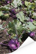 Paarse koolrabi in de aarde tijdens een zonnige middag Poster 20x30 cm - klein - Foto print op Poster (wanddecoratie woonkamer / slaapkamer)