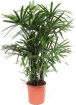 Kamerboom van Botanicly   Bamboepalm   Hoogte: 110 cm    Rhapis Excelsa