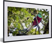Foto in lijst - Quetzal op een tak fotolijst zwart met witte passe-partout 60x40 cm - Poster in lijst (Wanddecoratie woonkamer / slaapkamer)