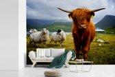 Fotobehang vinyl - Een Schotse hooglander met zijn lange rode haar en hoorns breedte 305 cm x hoogte 220 cm - Foto print op behang (in 7 formaten beschikbaar)