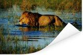 Leeuw in het water van de Okavangodelta in Botswana Poster 90x60 cm - Foto print op Poster (wanddecoratie woonkamer / slaapkamer)