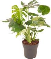 Kamerboom van Botanicly   Gatenplant   Hoogte: 70 cm    Monstera Deliciosa