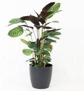 Calathea 'Makoyana' - Incl. ELHO Brussels Sierpot Antraciet - ↑ 80-90cm - Ø 17cm