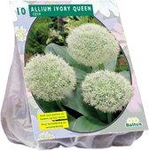 Allium (Sierui) bloembollen - Ivory Queen - 2 x 10 stuks