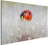 Lieveheersbeestje op paardebloem Aluminium 120x80 cm - Foto print op Aluminium (metaal wanddecoratie)