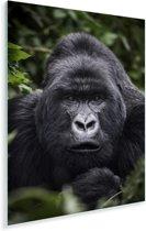 Gorilla kijkt met zijn parelachtige ogen in de camera Plexiglas 80x120 cm - Foto print op Glas (Plexiglas wanddecoratie)