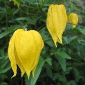 Clematis Tangutica - Klimplant     geel