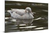 Vrouwelijke ringtaling in het water Aluminium 180x120 cm - Foto print op Aluminium (metaal wanddecoratie) XXL / Groot formaat!