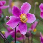 6 x Anemone Hupehensis 'Splendens' - Herfstanemoon pot 9x9cm