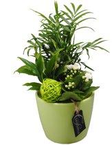 Kamerplant van Botanicly – Arrangement Basic creatie in keramiek groenincl. bloempot groenals set – Hoogte: 35 cm