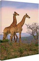Giraffes fotoafdruk Canvas 60x80 cm - Foto print op Canvas schilderij (Wanddecoratie woonkamer / slaapkamer) / Dieren Canvas Schilderijen