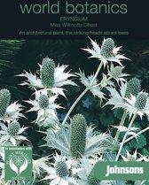 World Botanics - Eryngium Miss Willmotts Ghost