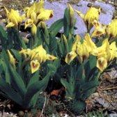6 x Iris (P) 'Brassie'- Dwergbaardiris pot 9x9cm