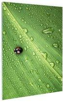 Lieveheersbeestje op blad met druppels Glas 20x30 cm - Foto print op Glas (Plexiglas wanddecoratie)