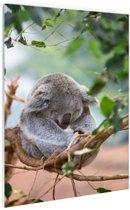 Zittende koala met bladeren Glas 80x120 cm - Foto print op Glas (Plexiglas wanddecoratie)