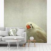 Fotobehang vinyl - Een wit gekleurde Zebravink breedte 350 cm x hoogte 350 cm - Foto print op behang (in 7 formaten beschikbaar)