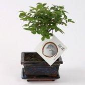 Bonsai Zelkova pot 12 cm