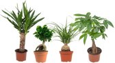 Choice of Green - plantenmix van 4: Yucca, Pachira, Beaucarnea, Ficus Bonsai Ginseng  - Kamerplant in Kwekerspot ⌀12 cm - Hoogte ↕23 cm