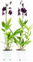 Orchideeën van Botanicly | 2 × Bamboe orchidee paars | Hoogte: 60 cm  | Dendrobium Sa-Nook