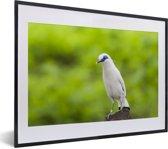 Foto in lijst - Een Balispreeuw op een groene achtergrond fotolijst zwart met witte passe-partout klein 40x30 cm - Poster in lijst (Wanddecoratie woonkamer / slaapkamer)