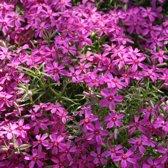 6 x Phlox 'Atropurpurea' - Vlambloem pot 9x9cm