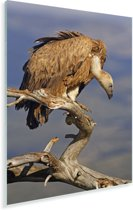 Vale gier op een kale tak Plexiglas 60x90 cm - Foto print op Glas (Plexiglas wanddecoratie)