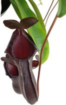 Nepenthes Bill Bailey, Black Monkey Jars, Carnivorous Plant
