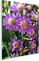 Een grote bos aster bloemen Plexiglas 120x160 cm - Foto print op Glas (Plexiglas wanddecoratie) XXL / Groot formaat!