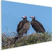 Koppel oorgieren op hun nest Plexiglas 90x60 cm - Foto print op Glas (Plexiglas wanddecoratie)
