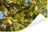 Een guave boom in volle glorie in het zonnige Californië Poster 90x60 cm - Foto print op Poster (wanddecoratie woonkamer / slaapkamer)