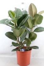 Ficus elastica rubberplant 90cm hoog potmaat 27