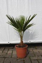 Winterharde palmboom Trachycarpus Fortunei palmboom - Hoogte: 50cm incl pot.