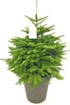 Kerstboom. Deze kerstbomen zijn opgepot met kluit. Kerstboom kant en klaar aangeleverd in sierpot. Abies nordmanniana, Nordmann met kluit en sierpot. Geschikt voor binnen en buiten.