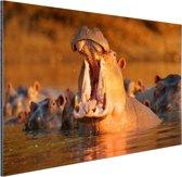 Nijlpaard met open bek Aluminium 60x40 cm - Foto print op Aluminium (metaal wanddecoratie)