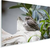 Uilnachtzwaluw in een boom Plexiglas 90x60 cm - Foto print op Glas (Plexiglas wanddecoratie)