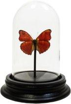 Opgezette rode vlinder in glazen stolp - Cymothoe sangaris