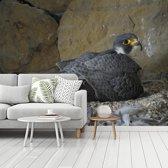 Fotobehang vinyl - Leuke slechtvalk zit op haar nest breedte 295 cm x hoogte 220 cm - Foto print op behang (in 7 formaten beschikbaar)